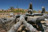 Fallen Joshua Tree
