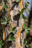 Ocotillo leaves