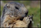 Alpine marmot close up.jpg