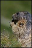 Alpine marmot eating.jpg