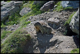 Alpine marmot mother and young.jpg