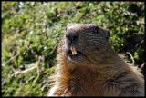 Alpine marmot sharp teeth.jpg