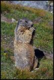 Alpine marmot standing tall.jpg