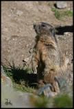 Alpine marmot watch out.jpg