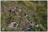 Alpine marmot young.jpg