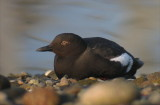 Ducks and other Waterbirds