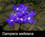 Dampiera wellsiana