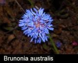Brunonia australis