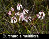 Burchardia multiflora