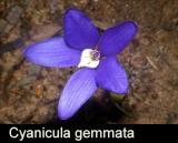 Cyanicula gemmata