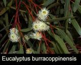 Eucalyptus burracoppinensis