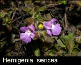 Hemigenia  sericea
