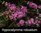 Hypocalymma robustum