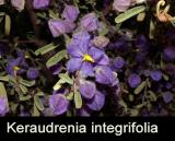 Keraudrenia integrifolia