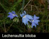 Lechenaultia biloba