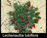 Lechenaultia tubiflora