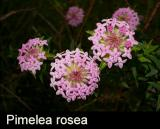 Pimelea rosea