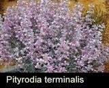 Pityrodia terminalis