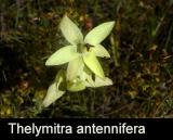 Thelymitra antennifera