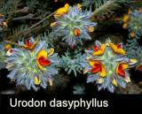 Urodon dasyphyllus