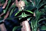 Cairns Birdwing - male