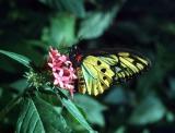 Golden Birdwing (Cairns Birdwing)