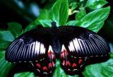 Ambrax Swallowtail - female