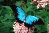 Ulysses Swallowtail - male