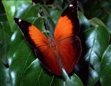 Australian Leafwing