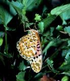 Australian Fritillary