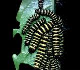 Red Lacewing - larvae