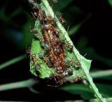 Common Oak Blue - larva with Tree Ants