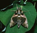 Alstonia hawk Moth