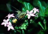 Bee Hawk Moth feeding - Cephonodes