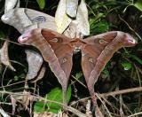 Hercules Moths - mating