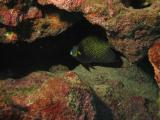 French Angelfish (in retreat)