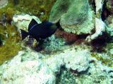 Black Durgon - type of Triggerfish