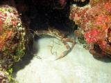 huge Spiny Spider Crab at 100 feet