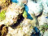 little Green Moray Eel