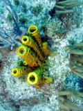bright yellow Tube Sponges
