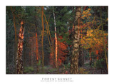 A forest sunset