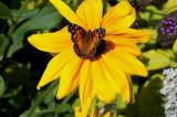 Vanesse de Virginie - Vanessa virginiensis