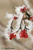 Frosted Viburnum Berries