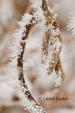 Frosty Catkins