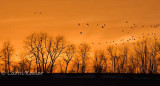 Geese Gathering at Sunset