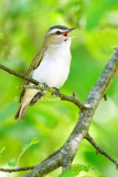 Red Eye Vireo