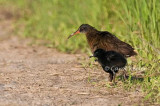 Virginia Rail and Chicks