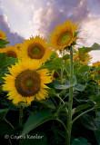 Sunflowers Before Sunset