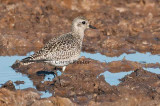 Black-bellied Plover in Winter Plumage.