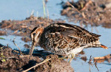 Wilson's Snipe Probing for Worms